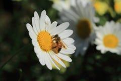 Una abeja poliniza una flor Imagen de archivo