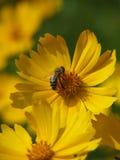Una abeja poliniza una flor amarilla Foto de archivo libre de regalías