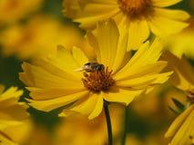 Una abeja poliniza una flor amarilla Fotos de archivo libres de regalías