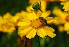 Una abeja poliniza una flor de oro Fotografía de archivo