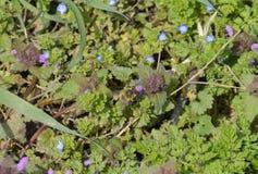 Una abeja poliniza una flor púrpura Claro floreciente de la primavera Fotos de archivo