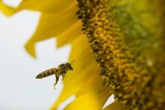 Una abeja que asoma en un girasol Imágenes de archivo libres de regalías