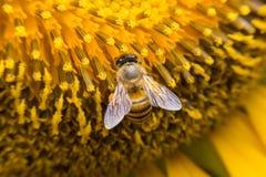 Una abeja que asoma mientras que recoge el polen del flor del girasol Los pelos en abeja se cubren en polen amarillo al igual que Foto de archivo libre de regalías