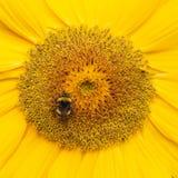Una abeja que asoma mientras que recoge el polen del flor del girasol Imagen de archivo libre de regalías