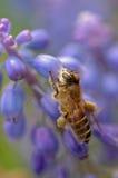 Una abeja que aspira la uva Ayacinth Foto de archivo libre de regalías