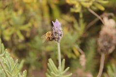 Una abeja que besa un lavander imagen de archivo