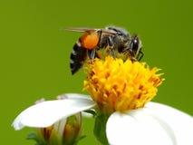 Una abeja que busca el polen de la flor Imagenes de archivo