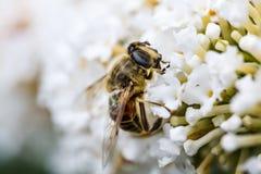 Una abeja que busca un poco de néctar fotos de archivo