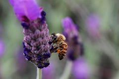 Una abeja que chupa el néctar de la flor del lupine Imagen de archivo