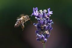 Una abeja que consigue el néctar y el polen de un levander violeta Foto de archivo