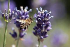 Una abeja que consigue el néctar y el polen de un levander violeta Imagenes de archivo