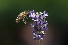Una abeja que consigue el néctar y el polen de un levander violeta Fotos de archivo