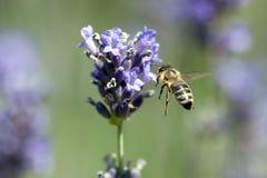 Una abeja que consigue el néctar y el polen de un levander violeta Fotos de archivo libres de regalías
