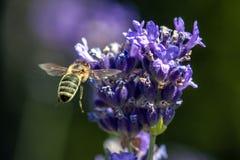 Una abeja que consigue el néctar y el polen de un levander violeta Fotografía de archivo