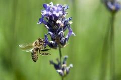 Una abeja que consigue el néctar y el polen de un levander violeta Imagen de archivo libre de regalías