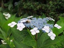 Una abeja que descansa en flores Foto de archivo