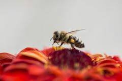 Una abeja que extrae el néctar Imagen de archivo