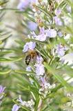 La abeja y las flores Fotografía de archivo
