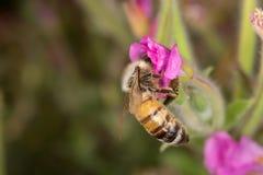 Una abeja que poliniza Imágenes de archivo libres de regalías