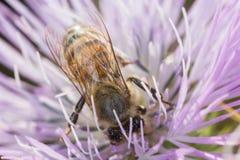 Una abeja que poliniza Fotos de archivo libres de regalías