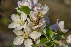 Una abeja que poliniza Apple Fotografía de archivo