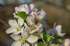Una abeja que poliniza Apple Fotografía de archivo libre de regalías
