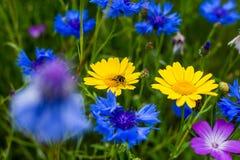 Una abeja que poliniza en una margarita amarilla Imágenes de archivo libres de regalías