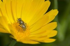 Una abeja que poliniza una flor del Calendula Fotografía de archivo libre de regalías