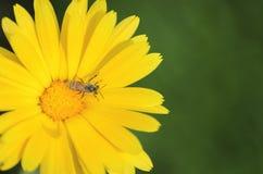 Una abeja que poliniza una flor del Calendula Foto de archivo