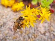 Una abeja que poliniza una flor amarilla Fotografía de archivo