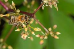 Una abeja que recoge el néctar Imágenes de archivo libres de regalías