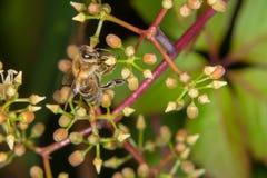 Una abeja que recoge el néctar Fotos de archivo libres de regalías