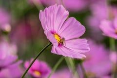 Una abeja que recoge el néctar de la flor púrpura del cosmos Fotos de archivo