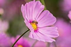 Una abeja que recoge el néctar de la flor púrpura del cosmos Imagenes de archivo