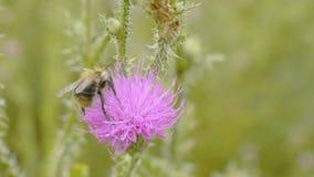 Una abeja que recoge el néctar de la flor púrpura del cosmos, macro Fotos de archivo