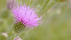 Una abeja que recoge el néctar de la flor púrpura del cosmos, macro Fotografía de archivo