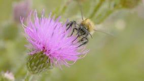 Una abeja que recoge el néctar de la flor púrpura del cosmos, macro Imagen de archivo libre de regalías