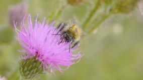 Una abeja que recoge el néctar de la flor púrpura del cosmos, macro Imagenes de archivo