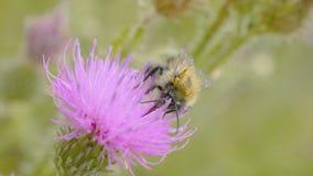 Una abeja que recoge el néctar de la flor púrpura del cosmos, macro Foto de archivo