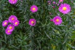 Una abeja que recoge el néctar de la flor rosada púrpura del cosmos, macro Imagen de archivo libre de regalías
