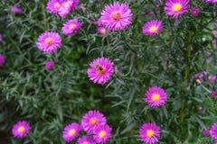 Una abeja que recoge el néctar de la flor rosada púrpura del cosmos, macro Imagenes de archivo
