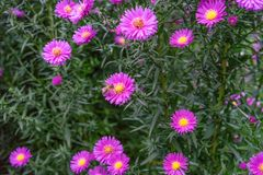Una abeja que recoge el néctar de la flor rosada púrpura del cosmos, macro Foto de archivo libre de regalías