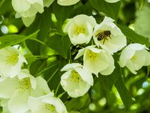 Una abeja que recoge el néctar de las flores blancas de los manzanos en el jardín Imagenes de archivo