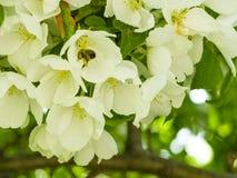 Una abeja que recoge el néctar de las flores blancas de los manzanos en el jardín Fotos de archivo