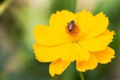 Una abeja que recoge el néctar en el cosmos amarillo Imagen de archivo