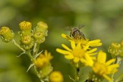 Una abeja que recoge el polen Fotos de archivo