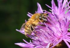 Una abeja que recoge el polen Imagenes de archivo