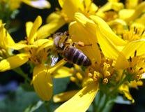 Una abeja que recoge el polen de un wildflower Imagenes de archivo