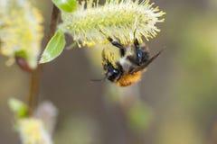 Una abeja que recoge el polen del flor del wollow Imagen de archivo libre de regalías