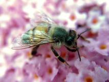 Una abeja que recoge el polen en las flores Imagen de archivo